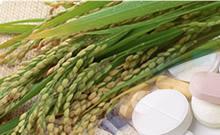 水稻胚乳细胞生物反应器技术: 高效制备重组蛋白的新利器