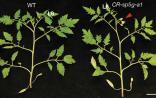 Nature Genetics发表重要成果 CRISPR让番茄更快开花结果