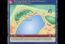 Photosynthetic Electron Transport and ATP Synthesis-光合作用中的电子转移和ATP合成