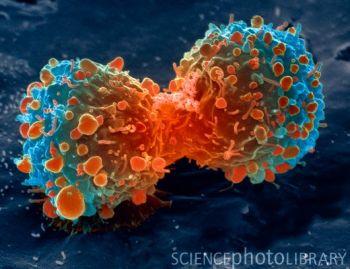 动物细胞分裂显微镜照片