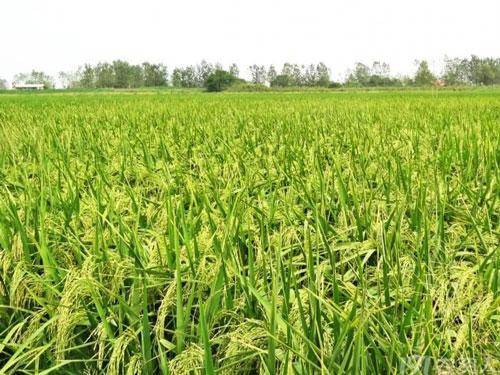 湖南袁隆平超级稻亩产破988公斤