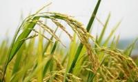 我科学家利用基因编辑技术成功克隆出杂交稻种子,袁隆平发表点评