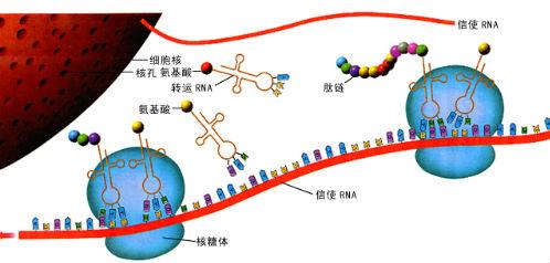 此图为蛋白质合成示意图