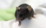 生物医学界最受欢迎的小鼠品系,基因悄悄在改变