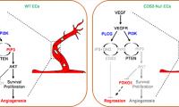 营养与健康所发现VEGFA信号通路在血管稳态调控过程中的两面性