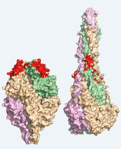 他们得到了一种上述抗体活性状态的晶体结构