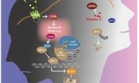 中国研究发现慢性压力促进癌症发展新机制