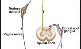 一篇适合精读的Immunity文章:神经和免疫系统沟通细节