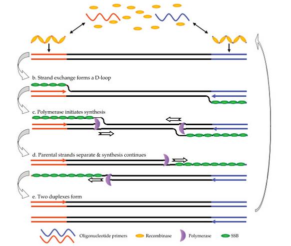 uk) rpa技术主要依赖于三种酶:能结合单链核酸(寡核苷酸引物)的重组酶