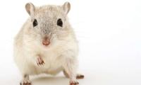 速览 | 肠道微生物保护神经免受病毒感染伤害