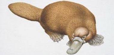 PNAS:新证据表明产卵哺乳动物进化速度慢