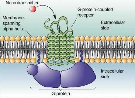 """MCB:英发现细胞信号通路新""""刹车""""蛋白"""