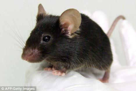 """日用基因工程培育能发出""""啾啾""""叫声的转基因老鼠"""