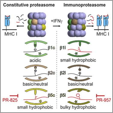 Cell:科学家首次揭示免疫蛋白酶体的晶体结构