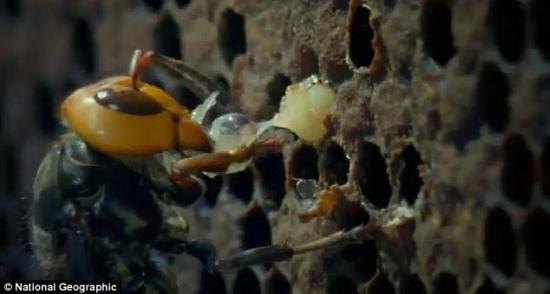 大黄蜂把蜜蜂幼虫拖出蜂巢,把它咀嚼成糊状,好喂养给自己的后代