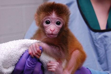 世界上第一个嵌合猴出生-带有六种遗传物质