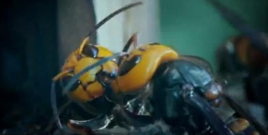 大屠杀之后,两个筋疲力尽的大黄蜂一起分享食物,重获能量