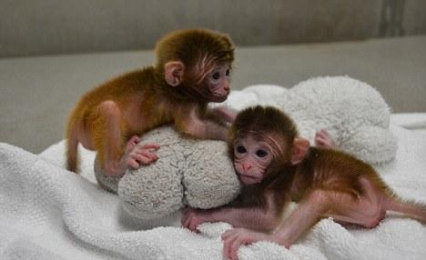 世界第一个嵌合猴