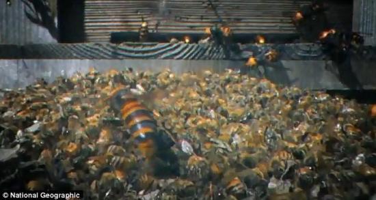 蜜蜂大屠杀