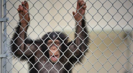 美国将不会再资助新的黑猩猩研究