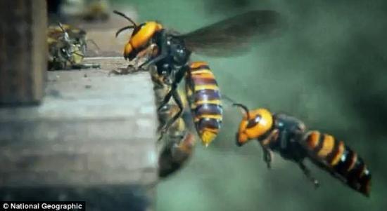 战斗开始!一只可怜的欧洲蜜蜂和大黄蜂在蜂房门口面对面