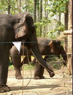 这些发现表明大象在参加协作性任务时关注它们伙伴的存在和行为,揭示出存在有意合作的倾向。