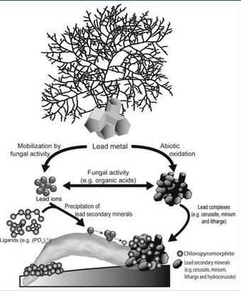 Curr. Biol.:首次发现将铅金属转化为磷氯铅矿的真菌