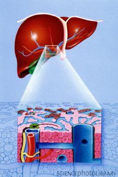 科学家解析肝癌细胞侵袭机制