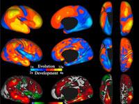 PNAS:婴儿大脑可重现人脑2500万年进化史