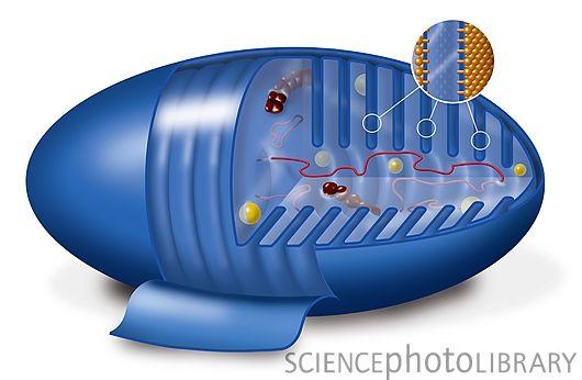 NADH荧光探针可监测胞内能量代谢
