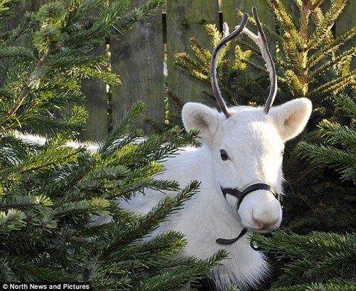 英国出现纯白驯鹿 几率仅万分之一
