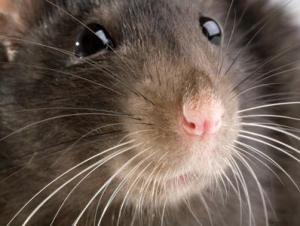 science:老鼠能嗅到死亡的味道