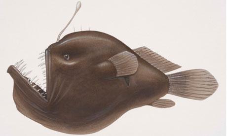 琵琶鱼诠释爱的代价