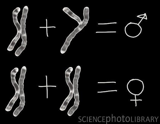 Y染色体是人类所有基因中演化最快的染色体