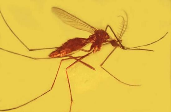琥珀化石显示疟疾古已有之