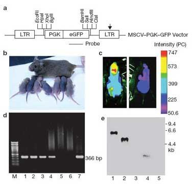 Nature Cell Biology:小鼠卵巢中发现生殖干细胞
