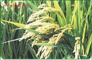 多国市场发现非法转基因大米