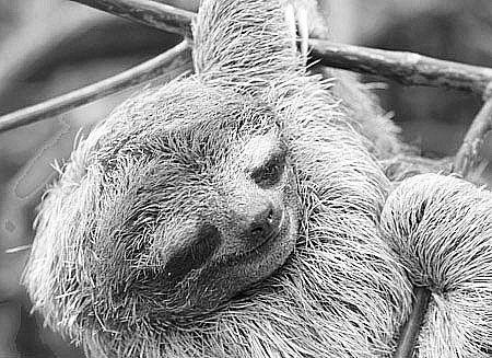 《生物学快报》:树懒其实并不懒