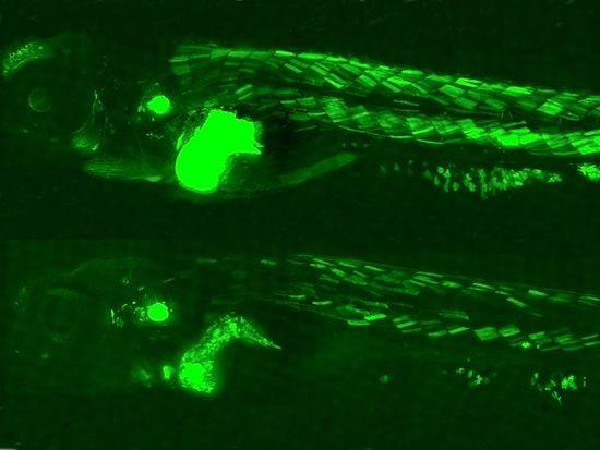 英科学家培育出发光斑马鱼 以观察进入鱼体污染物