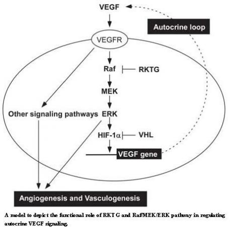 Oncogene:血管生成调控新机制及在肿瘤形成中的功能