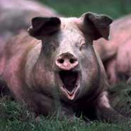 猪当中发现胃溃疡病原菌
