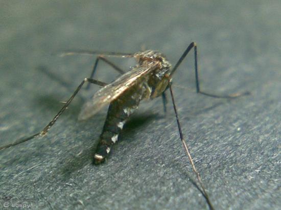 """十种对人类威胁最大动物评选出炉:蚊子""""夺魁"""""""