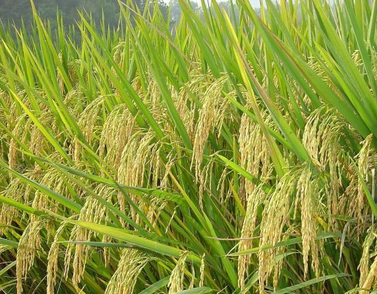 杂交水稻国家重点实验室技术支撑国家粮食安全