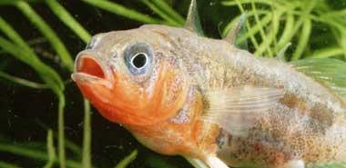 Science:棘鱼研究帮助加强自然选择说