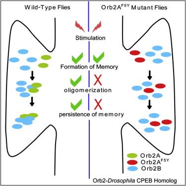 Cell:研究揭示突触加固及维持记忆犹新的机制