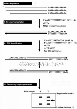 mrna差异显示技术[差示反转录pcr,ddrt-pcr]