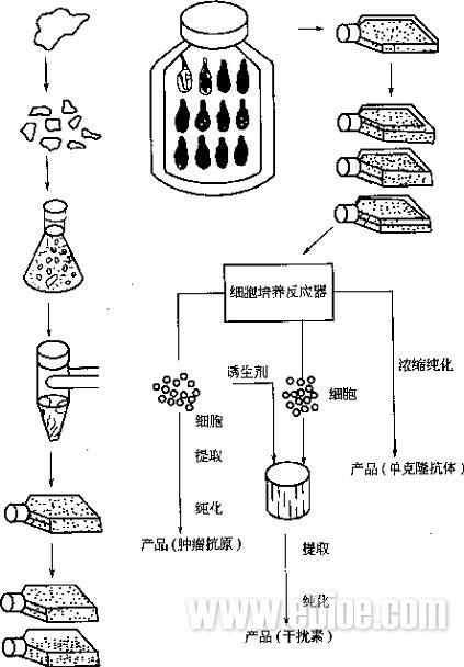 培养工艺    大规模动物细胞培养的工艺流程如图14-5所示,先将组织