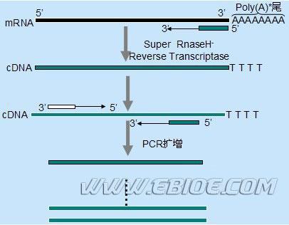 rt-pcr原理,步骤与问题分析以及两步法rt-pcr