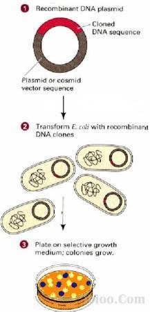 大肠杆菌感受态细胞的制备