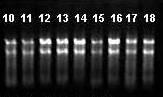 哺乳动物组织样品RNA的抽提